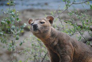 הטורף ממדגסקר