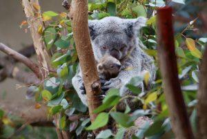 נמנום? רק בצל. קואלה עם גור (צילום: Alan Stoddard, Flickr.com)
