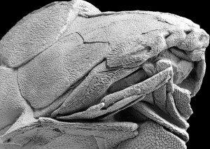 הלסת של האנטלוגנתוס – מימין למטה. מתוך המאמר ב-Nature