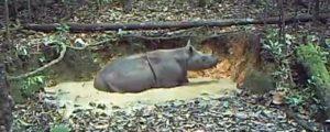 קרנף סומטרי. צילום: WWF Indonesia