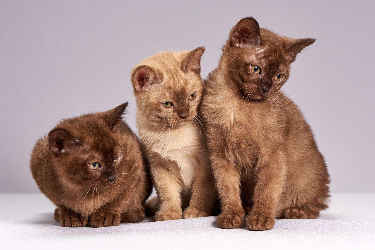 שלוש חתולים
